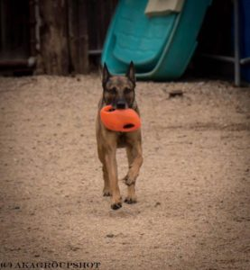 Jefke the Belgian Malinois